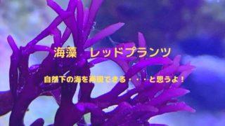 レッドプランツ 海藻