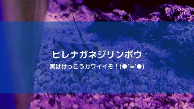 海水魚 ヒレナガネジリンボウの飼い方